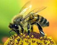 pszczola1 200